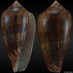 Conus cholmondeleyi (Tanzania, 46,4mm)