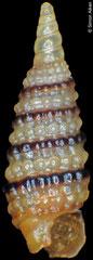 Synthopsis battagliai (Philippines, 2,3mm)