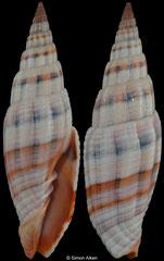 Vexillum dennisoni (Philippines, 55,4mm)