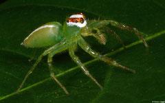 Jumping spider (Viciria praemandibularis), Samal Island, Philippines