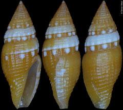 Mitromorpha candeopontis (Philippines, 10,3mm)
