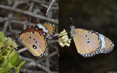 African monarchs (Danaus chrysippus), Salary, Madagascar