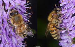 Bee (Anthophila sp.), York, UK