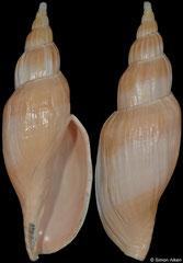 Fulgoraria kaneko (Japan, 137,5mm)