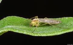 Non-biting midge (Chironomidae sp.), Perth, Western Australia