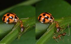Ladybird (Coccinellidae sp.), Samal Island, Philippines