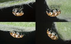 Varied carpet beetle (Anthrenus verbasci), York, UK