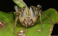 Orb-weaver (Araneidae sp.), Balut Island, Philippines