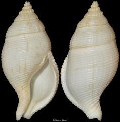 Phaenomenella insulapratasensis (Taiwan, 43mm) F++ €25.00