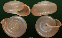 Trichochloritis pseudomiara (Laos, 22,6mm) €36.00