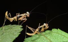 Praying mantis (Hierodula sp.) nymph, Balut Island, Philippines