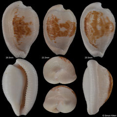 Cypraea capensis form 'cineracea' (South Africa, 26,5mm, 23,3mm, 25,5mm)