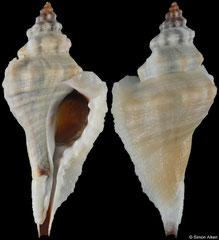 Eupleura muriciformis (Pacific Mexico, 39,0mm)