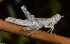 Monkey grasshopper (Eumastacidae sp.), Miary, Madagascar