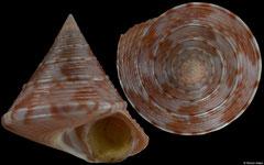 Calliostoma zizyphinum (Spain, 26,8mm)