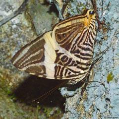 Dirce beauty (Colobura dirce wolcotti), Majagual, Dominican Republic