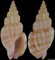 Phos roseatus (Philippines, 23,2mm)