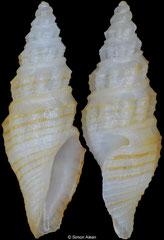 Bathytoma sp. (Philippines, 8,3mm)