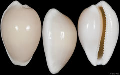 Cypraea comptonii form 'casta' (South Australia, 26,4mm)