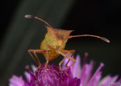 Leaf-footed bug (Coreidae sp.), Kampong Trach, Cambodia