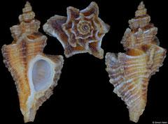 Paciocinebrina barbarensis (California, USA, 15,6mm)