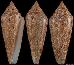 Conus gloriamaris (Philippines, 70,5mm)