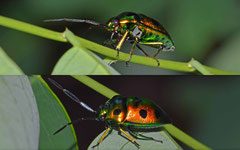 Jewel bug (Calliphara sp.), Siquijor, Philippines