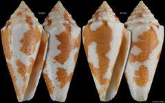 Conus sp. (close to julieandreae) (Caribbean Colombia, 25,5mm, 25,1mm)
