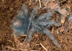 Tarantula (Phormictopus sp.), Loma Catalina, Dominican Republic