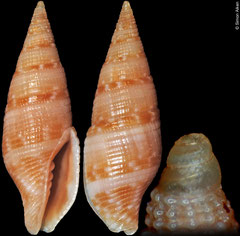 Pseudonebularia kilburni (Philippines, 16,2mm)