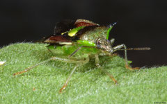 Shield bug (Pentatomidae sp.), Kampong Trach, Cambodia