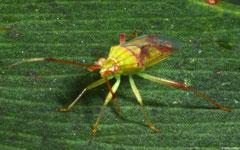 Capsid bug (Miridae sp.), Perth, Western Australia