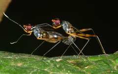 Stilt-legged flies (Micropezidae sp.), Angkor Chey, Cambodia
