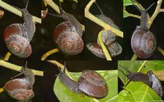 Anixa siquijorensis (Siquijor, Philippines)