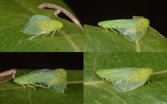 Planthoppers (Fulgoromorpha sp.), Dipolog, Philippines