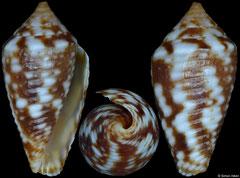 Conus allamandi (Honduras, 10,7mm) F++ €27.00