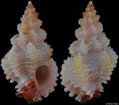 Favartia salmonea (Philippines, 21,0mm)