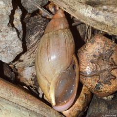 Euglandina rosea (Montagne Cabris, Rodrigues Island) (invasive species, photographed in the natural habitat of Tropidophora articulata)