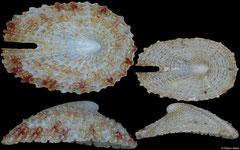 Emarginula sakuraii (Philippines, 10,0mm, 7,5mm)