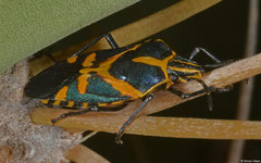 Shield bug (Agaeus bicolor), Ifaty-Mangily, Madagascar