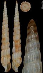 Terebra multistriata (Philippines, 24,2mm) F+ €25.00