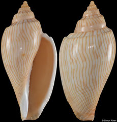 Athleta studeri (Queensland, Australia, 53,7mm) F+++ €12.00 (specimens for sale are 48mm+ and are of the same quality as the specimen illustrated)