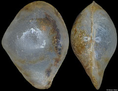 Pseudoneaera semipellucida (Philippines, 6,7mm) F+/F++ €8.00