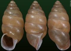 Anceyoconcha siamensis (Cambodia, 15,3mm)