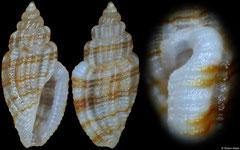 Guraleus sp. (Philippines, 3,6mm)