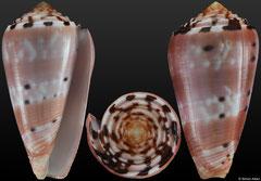 Conus gauguini (Marquesas, 68,4mm)