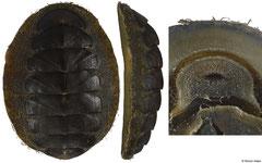 Mopalia hindsii (48,3mm, Washington, USA)