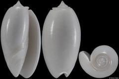 Oliva bulbosa colour form 'immaculata' (Tanzania, 35,6mm)