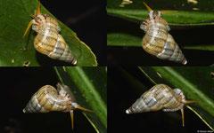 Parachondria samanicolus (NNE of Majagual, Dominican Republic)