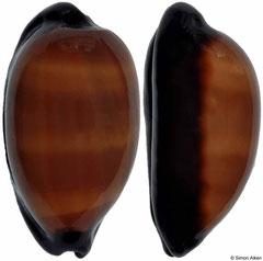 Cypraea exusta (Djibouti, 55mm)